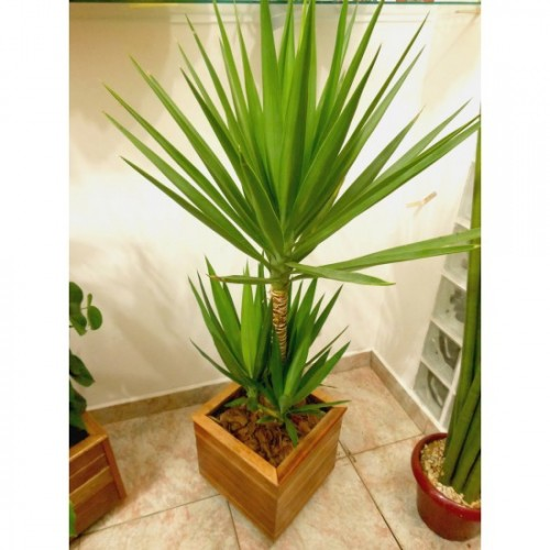 Yucca for Plantas decorativas para interiores